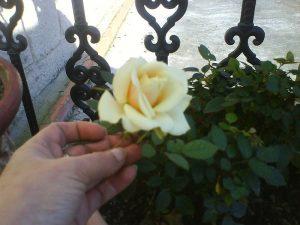rosas con cascaras de guineo