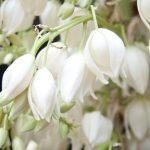flores salvadoreñas comestibles