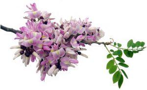 flor de madre cacao
